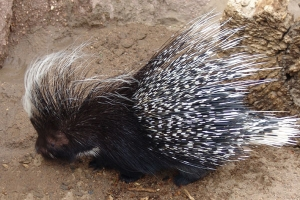 African_Porcupine
