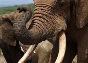 addo-elephant-bull-03