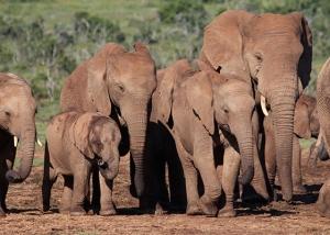 addo-elephant-herd-03