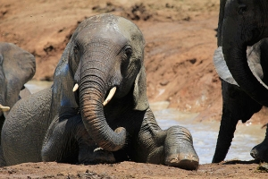 addo-elephants-045