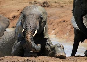addo-elephants-045
