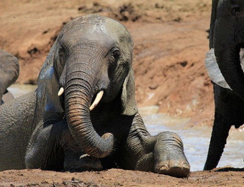 Elephant Wallowing