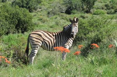 Zebra at Kudu Ridge Private Game Reserve