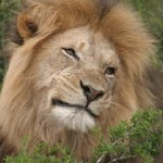 Lion at Addo Elephant National Park