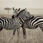 Zebra 102