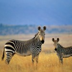 Zebra 103