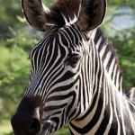 Zebra 104