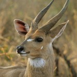 Bushbuck[fusion_builder_container hundred_percent=