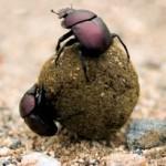 Addo Dun Beetle