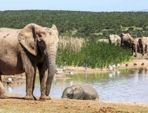 Addo Safari: Elephant Behavior