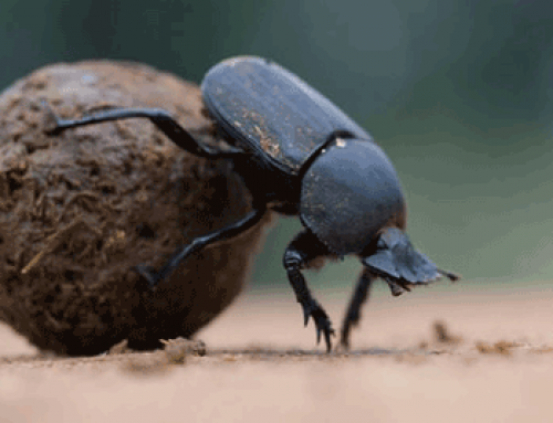 Video: Addo Dung Beetle