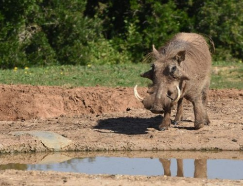Addo Animal Facts: Warthog