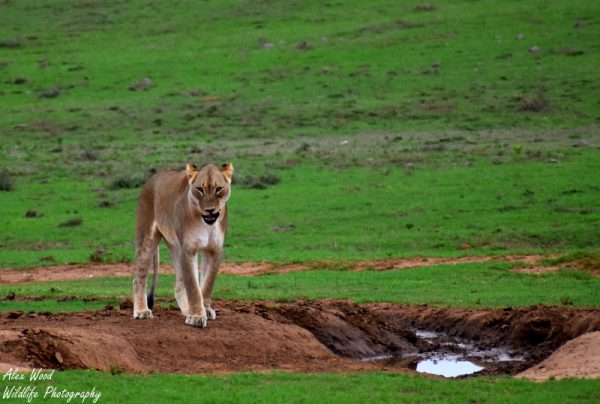 Addo Lion